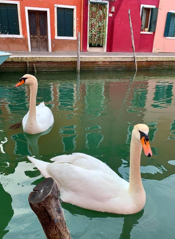 swans in venice